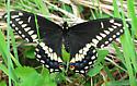 Black(?) Swallowtail - Papilio polyxenes - male