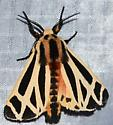 Apantesis sp. #1 - Apantesis phalerata