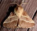 Malacosoma - Malacosoma americana