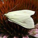 Moth - Sitochroa palealis