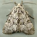 2393 Eremobina claudens - Dark-winged Quaker 9396 - Eremobina claudens