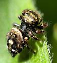 Phidippus audax spiderling? (Bold Jumper) - Phidippus