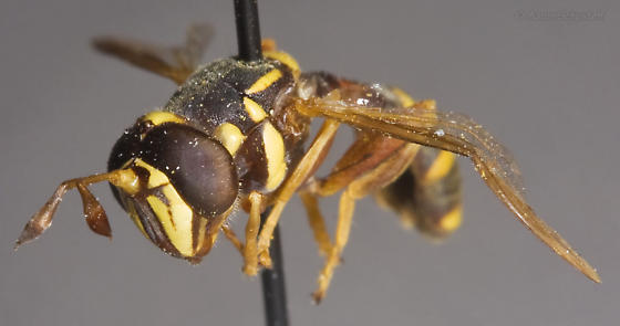 Curated male Polybiomyia from the Essig Museum - Polybiomyia townsendi - male