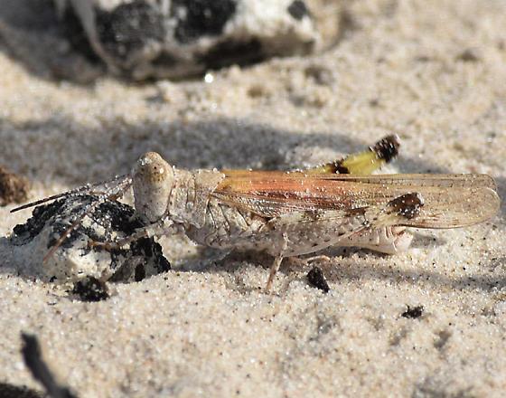 beach grasshopper - Heliastus subroseus - male