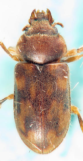 H. collaris-like - Heterocerus collaris