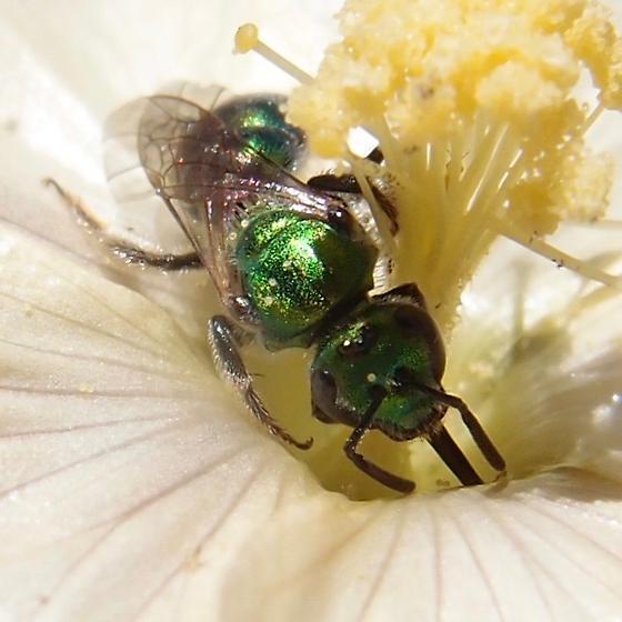 Augochlorella bee? - Augochlorella