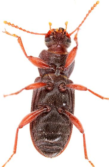 Tenebrionidae? - Mecysmus