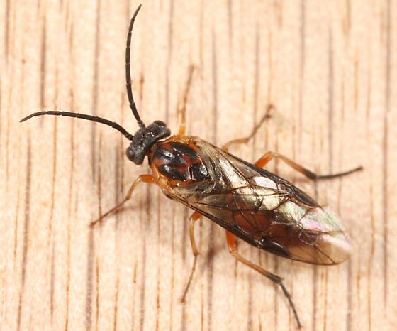 sawfly - Pristiphora bivittata - female