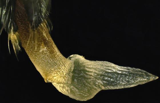Mating pair, Malachiini - Collops nigritus - male