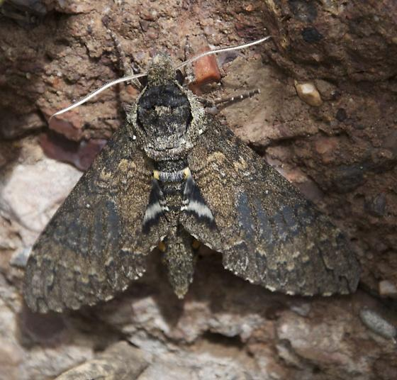 Occult sphinx - Manduca occulta
