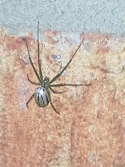 Garden Spider or Brown Widow? - Leucauge venusta