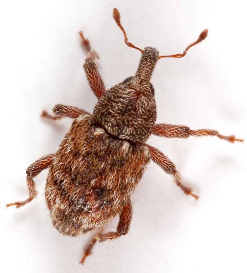 Weevil #2 - Micralcinus parvulus