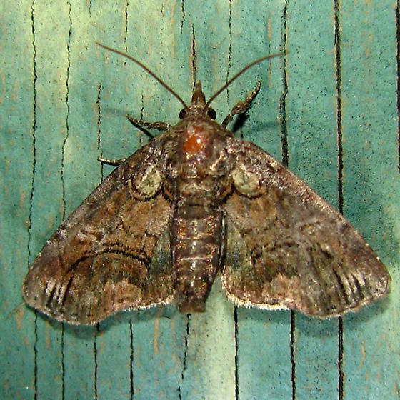 Pygmy Paectes  - Paectes pygmaea - female
