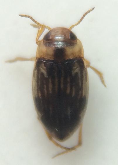 Beetle - Liodessus