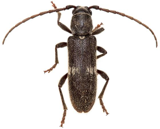 Anelaphus albofasciatus? - Anelaphus albofasciatus