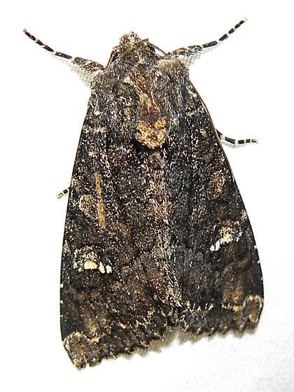 Yellow-Headed Cutworm - Apamea amputatrix  Hodges # 9348 - Apamea amputatrix - female
