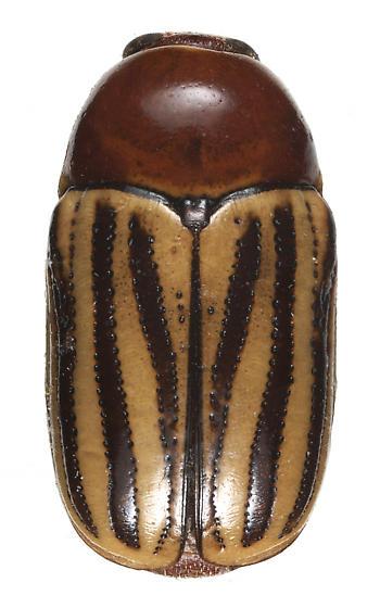 unknown chrysomellid - Cryptocephalus confluentus