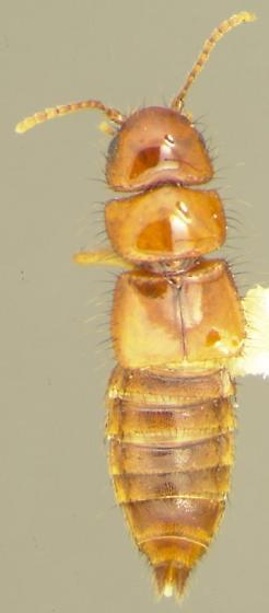 Acalophaena compacta Casey - Dacnochilus compacta