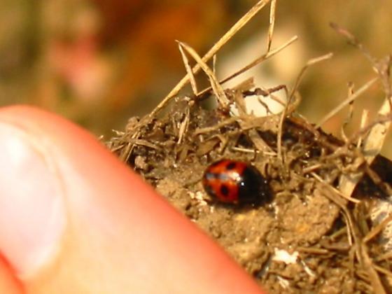 lady bug look-a-like... - Diaperis maculata