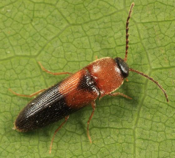 Click Beetle - Ampedus areolatus