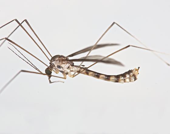 BG1987 E0610 - Dolichopeza subalbipes - male