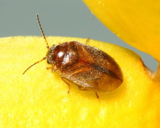 Marsh Beetle - Nyholmia confusa