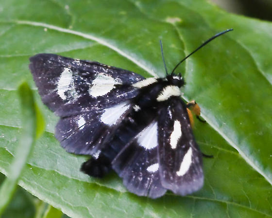 Black butterfly with white spots and wooly legs - Alypia octomaculata