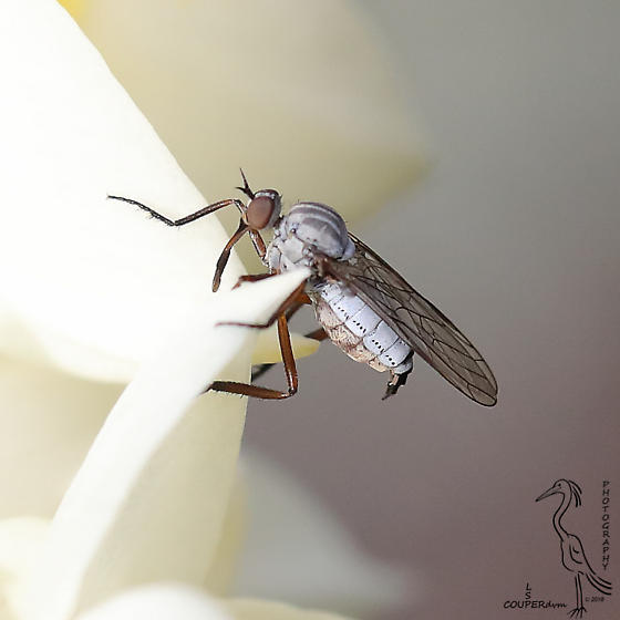 Grey March Fly? - Empis