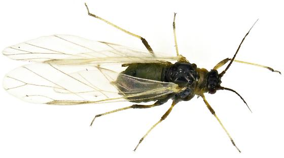 Aphis? - Hyadaphis