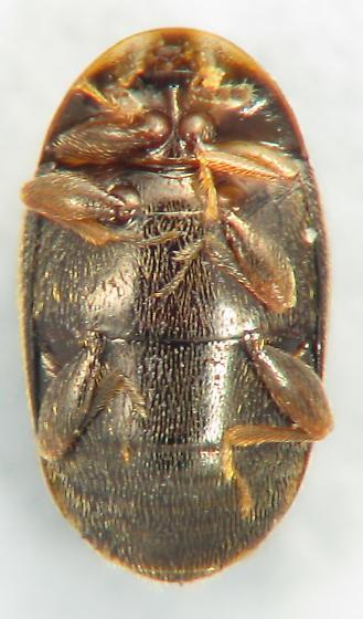 Corylophidae - Minute Hooded Beetle - Clypastraea lepida
