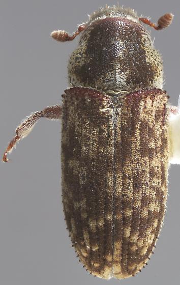 Pseudohylesinus nebulosus