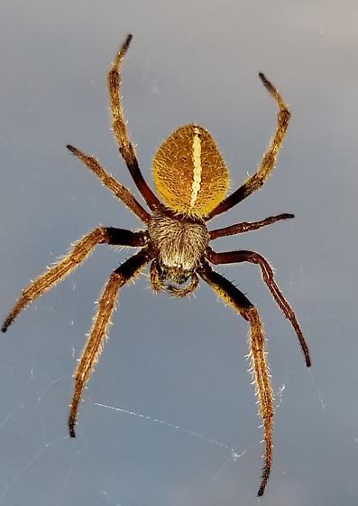 Spider - Eriophora ravilla
