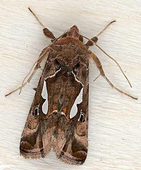moth - Megalographa biloba - male