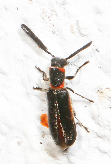 Black and red Beetle with paddle-like antennae - Monophylla terminata - male