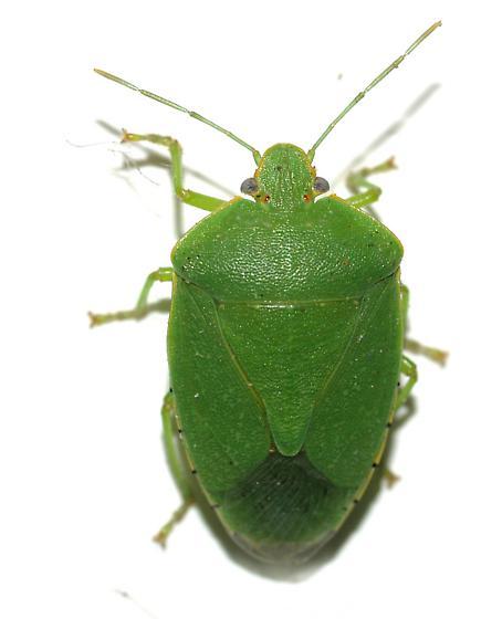 Big Green Stink Bug - Chinavia hilaris