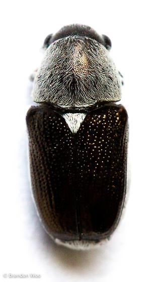 Coscinoptera aeneipennis