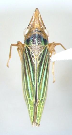 Draeculacephala - Draeculacephala producta - female