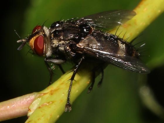 Exorista dydas - Black with Silver Fly - Exorista dydas - male