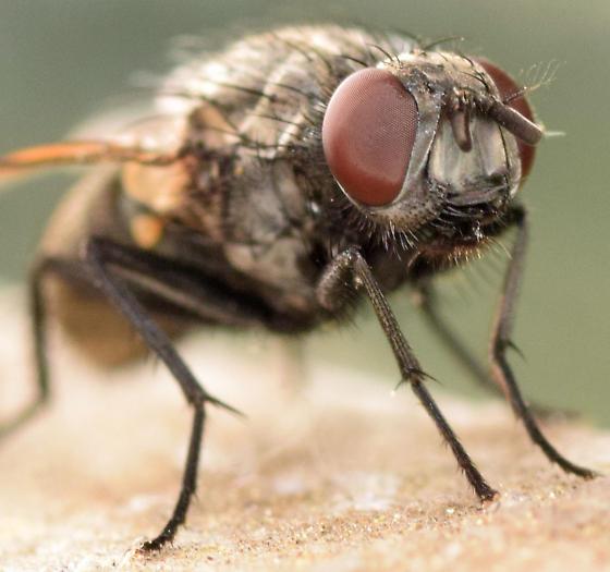 muscid fly - Myospila meditabunda - female
