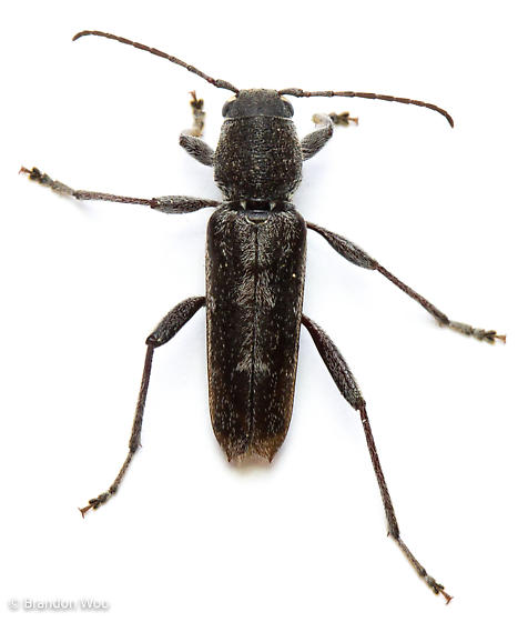 Xylotrechus sagittatus