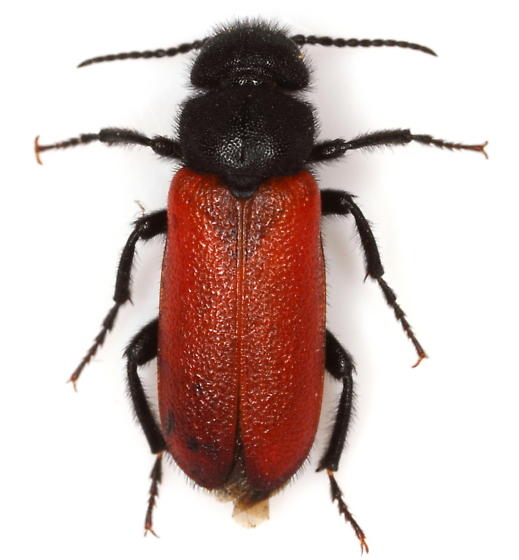 Blister beetle - Tricrania stansburyi