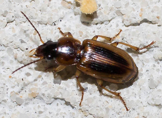 Double-black-striped ground beetle - Stenolophus comma
