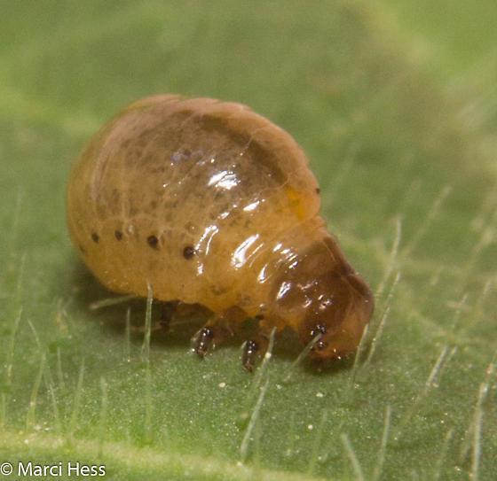 Chrysomelidae larva