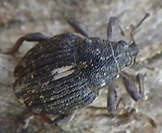 Unknown weevil - Rhinoncus pericarpius