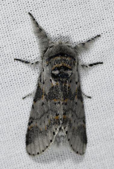 Backyard moths - Furcula cinereoides