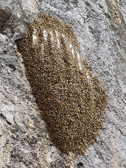 Apis mellifera colony - Apis mellifera - female