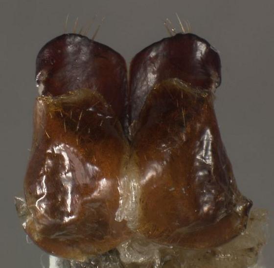 Phyllophaga aemula  - Phyllophaga aemula - female