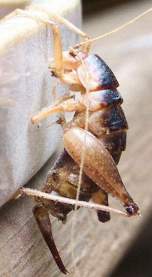 Cricket molt? - Ceuthophilus