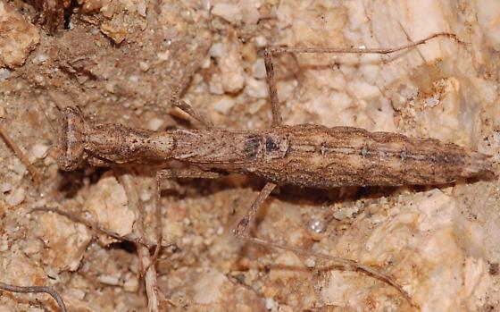 Brown mantis - Litaneutria ocularis - female