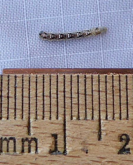 Syrphid? Larva